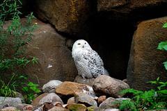 Schneeeule (ingrid eulenfan) Tags: zoo berlin vogel bird schneeeule snowowl sonyalpha6000 sonye18105mm