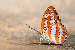 Oriental Common Sergeant - Athyma perius perius
