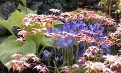 The garden: colours and textures in July (ronmcbride66) Tags: garden flowers acer hosta ivy nature gardenborder lichen macro thegarden brodiaeatriteleia coth5