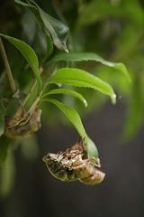 180720023 (murbozero) Tags: murbo japan cicada