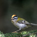 Firecrest- (higgsp@ymail.com4) Tags: