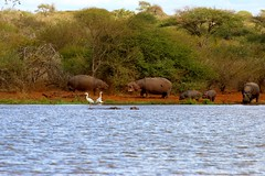 Hippo (Cristian Corso) Tags: mammals warning canon sudafrica africa lake crocodile colors landscape wild wildscreen travel