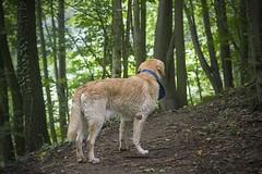 IMG_5161 (BernaPhotography) Tags: labradorretriever lab labrador dog pet yellow forest nature serbia