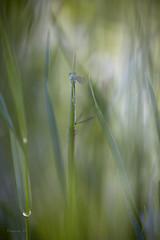 _LD_2907 (romain-dreux-photo) Tags: bokeh canada damselfly libellulidae odonata libellules macro nature colors quebec