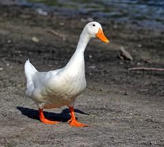 Wild Domestic Duck (Darts5) Tags: domesticduck duck ducks bird birds whiteduck 7d2 7dmarkll 7dmarkii 7d2canon ef100400mmlll closeup canon7d2 canon7dmarkll canon7dmarkii canon canonef100400mmlii animal nature