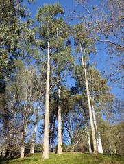Eucalyptus globulus Labill. 1800 (MYRTACEAE) (helicongus) Tags: eucalyptusglobulus eucalyptus myrtaceae jardínbotánicodeiturraran spain