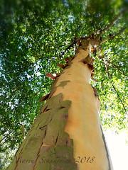 PlataanxxxPlane tree. (shedman59) Tags: plataan planetree boombast vervellen schors boomschors bark platanengroeidoorextreemveelzonlicht toskin peeling