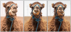 Show Me Your Teeth (jarhtmd) Tags: africa morocco sahara canon eos70d canon70200f4l animal camel triptych