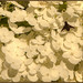Bee Hydrangea