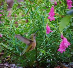Going for the Nectar (SahilH) Tags: slta99 sonyalphadslr hummingbird nectar flower bird garden nature