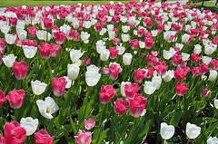 Tulipani al Parco Sigurtà (Gabriele Grazioli) Tags: tulipani tulips sigurtà fiori flower primavera spring colori colors natura nature