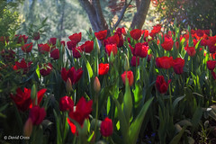 Red Tulips (buffdawgus) Tags: california spring flowers sierranevadafoothills springtime anandavillage lightroom6 topazsw canon5dmarkiii tulipgarden canon70200mm28l nevadacounty tulips