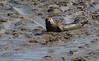 IMG_5926 cr (janharper) Tags: seals crouch roach estuaries leigh camera club