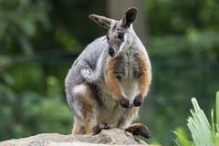 Sitting Wallaby (MLopht   Dortmund) Tags: tier beuteltier känguru ringelschwanzfelsenkänguru felsenkänguru petrogale zoo zootier dortmund ruhrgebiet canon eos 7d mkii eos7d 150600mm sittingkangaroo sigma wallaby macropodidae