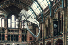 The blue whale (G. Postlethwaite esq.) Tags: london naturalhistorymuseum sonya7mkii southkensington arches bluewhale calbles cetacean mirrorless photoborder sign windows