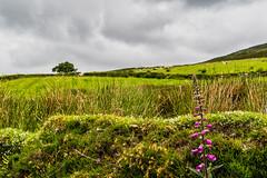Flowered Greens (*Capture the Moment*) Tags: 2018 ai clouds farbdominanz hikearoundcroaghpatrick himmel ireland irland landscape landschaft lumlook sky sonya6300 sonye18200mmoss sonyilce6300 wetter wolken cloudy green grün wolkig