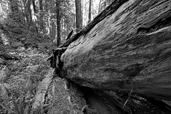 fALLEN gIANT (wNG555) Tags: 2014 california crescentcity redwoods bw fav25