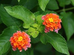 Twin Lantana Blooms (woody329) Tags: flickrfriday twins canon 7dmk2 canon100mmf28 lantana flowers plant flower orange yellow pink
