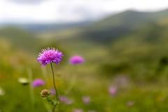 Fleur des champs, Auvergne, France (valerian.guillot) Tags: bokeh otus1428 zeiss ze canon