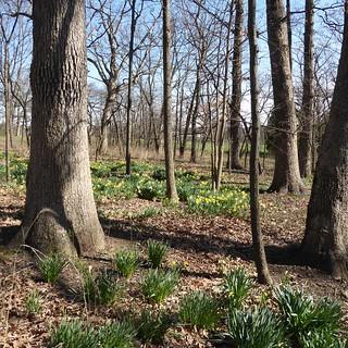 Lisle, IL, Morton Arboretum, Early Spring Daffodils