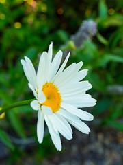A daisy (Raoul Pop) Tags: garden summer plants outdoors sunlight daisy evening home white