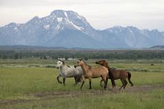 Horses at the Tetons (MiriamPoling) Tags: teton mountains horses pasture wy jackson hole
