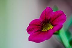 (Joz3.69) Tags: pentaxkr pentax kr zenithelios44m4 zenit helios44m4 helios 44m reversering 58mm f2 flower macro closeup rawtherapee gimp m42