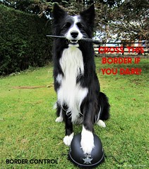 Cross this Border if you Dare! (ASHA THE BORDER COLLiE) Tags: border control cross collie funny dog picture connie kells county down photography ashathestarofdcountydown