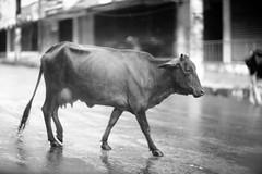 A Cow In The Rain (N A Y E E M) Tags: cow rain monsoon friday afternoon street navalavenue chittagong bangladesh carwindow