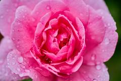 IMGP4729 (mikkelschreiber) Tags: pentax k70 sigma70mmf28exdgmacro summer july flower macro handheld water rain drop drops pink red purple green
