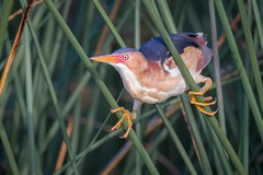 Anticipation... (gseloff) Tags: leastbittern bird animal nature wildlife reeds bulrush horsepenbayou pasadena texas gseloff