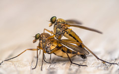 Mating Snipe Flies (claudiaulrikegoodall) Tags: snipefly matinginsects