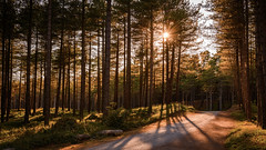 Golden pines (Colin Hollywood Photography) Tags: uk wales anglesey tyrmawr forest tree pine golden light sun shadow newborough nature reserve
