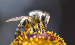 DSC_3840 (DPJmendoza) Tags: honey bee macro