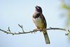 Eastern TowheeA53F1821 (~ Michaela Sagatova ~) Tags: dundasvalley birdphotography canonphotography easterntowhee michaelasagatova