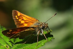 Large Skipper -Ochlodes sylvanus - Near Wool Dorset (2) (ailognom2005) Tags: largeskipper ochlodessylvanus nearwooldorset dorsetwildlife insects dorset butterflies butterfliesmothsandcaterpillars uk britishwildlife britishinsects