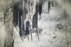 buck n bird in 720nm infrared (Brian M Hale) Tags: buck deer ir infra red infrared outside outdoors wildlife nature natural forest trees woods newengland new england waseeka audobon trail hopkinton ma mass massachusetts usa brian hale brianhalephoto 720nm nm 720 kolari vision kolarivision
