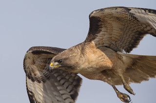 Red-tailed Hawk flyby