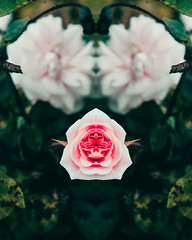 María (Aall Tibb) Tags: canon t3i 600d flowers flower flor rose rosa solo mirror simmetry symetry verde light luz tunja boyaca colombia canon600d canont3i lightroom photoshop rosado pink aalltibb