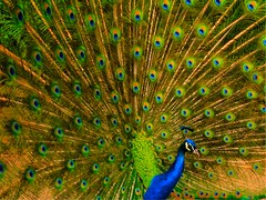 Paon ! (ludovicbecker) Tags: peacock proud fière oiseau bird color blue paon fierté citrit o icon