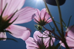 Under the sun. (The Boulevard) Tags: flower sunshine garden sabah malaysia blue sky pink desa dairy farm kundasang mount kinabalu morning