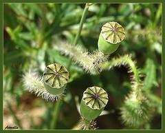 """"""" Micro trottoir !""""  """" Street interview ! """" (Armelle85) Tags: extérieur nature flore fleur coquelicot bouton macro"""