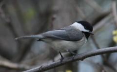 Carolina Chickadee (Poecile carolinensis) 05-04-2018 Jennings Randolph Lake--Mount Zion Road, Garrett Co. MD 12X (Birder20714) Tags: birds maryland chickadees paridae poecile carolinensis