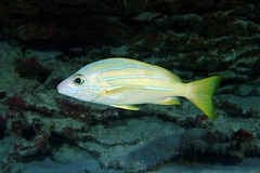 nice snapper (BarryFackler) Tags: seacreature fish vertebrate life animal coralreef organism fauna creature sealife being marinebiology aquatic sea ocean bay lutjanuskasmira snapper taape bluestripesnapper lkasmira reef hawaii 2018 marine underwater tropical barryfackler nature ecology coral kona marineecosystem bigisland hawaiidiving scuba island polynesia undersea water southkona diver barronfackler marineecology biology konadiving pacific pacificocean outdoor ecosystem westhawaii sealifecamera sandwichislands saltwater dive diving hawaiiisland hawaiicounty honaunau honaunaubay konacoast bigislanddiving