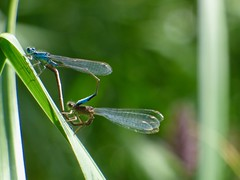 Damsel Flies Mating (LouisaHocking) Tags: parc cwm darran british wild wildlife nature south wales insect minibeast damsel flies fly mating