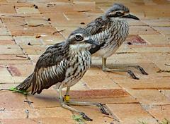 Bush Stone-curlew (Uhlenhorst) Tags: 2017 australia australien animals tiere birds vögel travel reisen