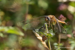 dragonfly 01.07.2018 -p4d-0128 (event-photos4dreams (www.photos4dreams.com)) Tags: gersprenz münster hessen germany naturschutz nabu naturschutzgebiet photos4dreams p4d photos4dreamz nature river bach flus susannahvictoriavergau susannahvvergau eventphotos4dreams butterfly butterflies canoneos5dmarkiii schmetterling schmetterlinge