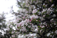 Blossom (Mattias Lindgren) Tags: nikond600 50mmf18 linköping rewind summer sweden