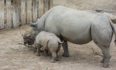 teaching baby what's good to eat- Cleveland Zoo (Tim Evanson) Tags: clevelandzoo clevelandmetroparks clevelandmetroparkszoo clevelandohio zoo dicerosbicornismichaeli easternblackrhino rhino blackrhino