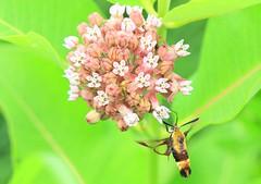 snowberry clearwing (Hemaris diffinis) nectaring on common milkweed at Decorah Prairie IA 653A0234 (lreis_naturalist) Tags: snowberry clearwing moth hemaris diffinis nectaring common milkweed decorah prairie winneshiek county iowa larry reis